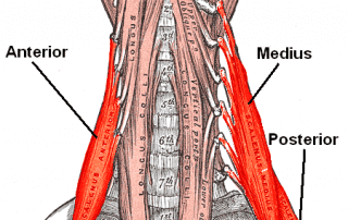 Scalenes Muscle